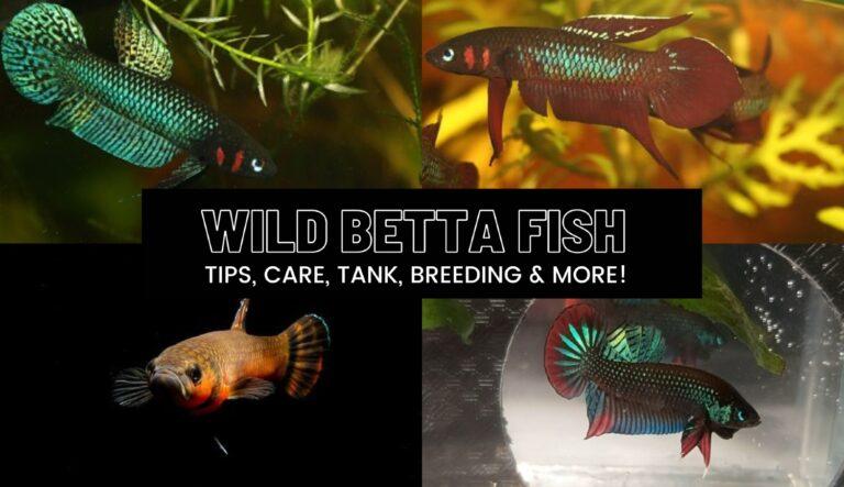 Wild Betta fish cover